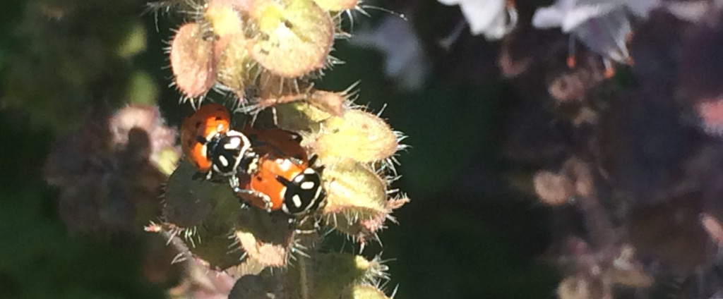 Ladybug ACP Kryptonite