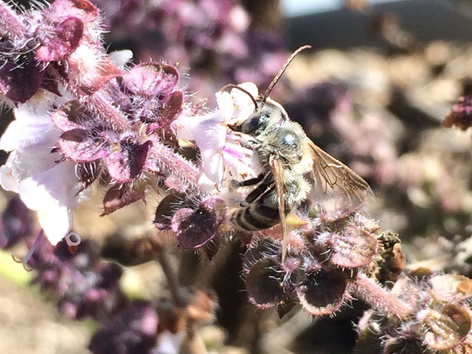 Another Mystery Bee on African Blue Basil