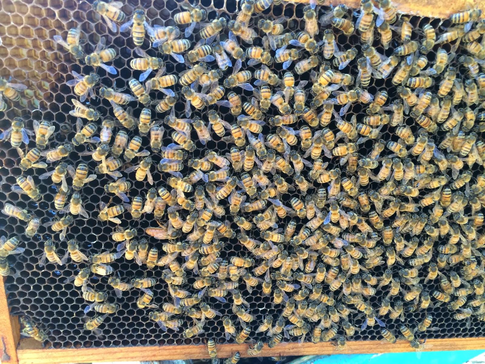 Golden Queen Bee on Older Comb
