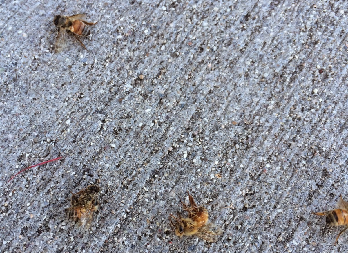 Sad sight of dead bees affected by pesticide