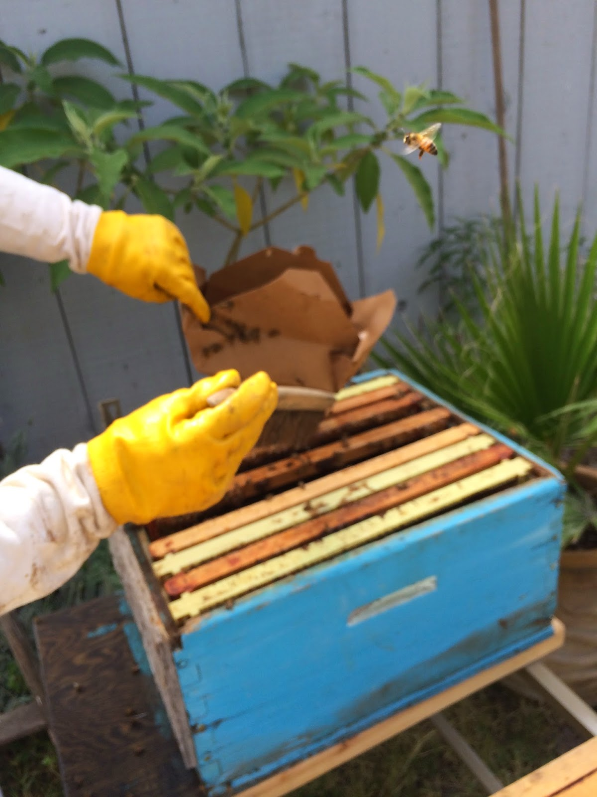 Transferring Bees to Bee Hive